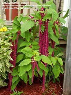 Full size picture of Love-Lies-Bleeding, Tassel Flower (Amaranthus caudatus)