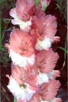 Gladiolo - gladiadores flores