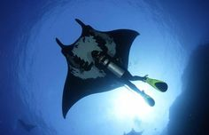 Hitching a ride with a giant manta ray.