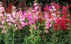 Different varieties of penstemon are put to the test for long-lasting flowers   and hardiness. Here are the results