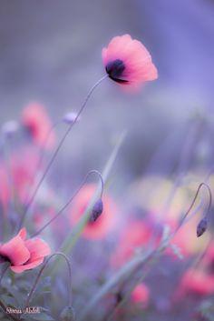 Photo Poppy by Sirous Abdoli on Purple Flowers Wallpaper, Flower Background Wallpaper, Flower Phone Wallpaper, Beautiful Flowers Wallpapers, Beautiful Nature Wallpaper, Pretty Wallpapers, Flower Backgrounds, Amazing Flowers, Pretty Flowers