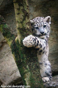 baby snow leopard cub or somewhere in the big cat family so cute Cute Baby Animals, Animals And Pets, Funny Animals, Wild Animals, Nature Animals, Big Cats, Cats And Kittens, Cute Cats, Beautiful Cats