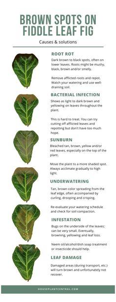 Indoor Garden, Garden Plants, Indoor Plants, House Plants, Fig Plant Indoor, Indoor Trees, Big Plants, Fruit Garden, Fig Leaves