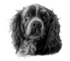 Skipper the #Springer #Spaniel sketch. Hand drawn by #pet portrait artsit…