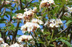 Plumeria tree (aka frangipani) in blossom