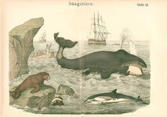 Antique print: picture of Baleen Whale, Dolphin, Seals and Whaling Boats -