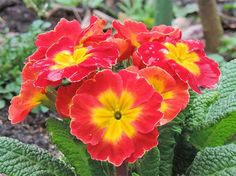 Free Jigsaw Puzzles Online - RED PRIMROSE  #JigsawPuzzles #JigsawPuzzle #Puzzle
