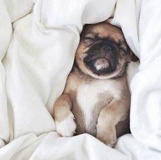 Pleasant dreams little Pug...and no snoring!