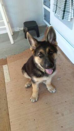 """""""Rex"""" German shepherd puppy 12.5 weeks."""