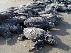 Hatchling sea turtles lined up on Padre Island