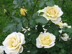 канадские розы сорта зимостойкие эксплорер дж п коннелл