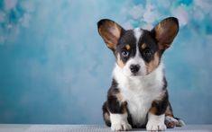 Welsh Corgi Cardigan, small puppy, 4k, shepherds dog, cute dogs