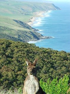 'Tapanapa Hill, view towards Victor Harbor, SA Awkward holiday pose' quoted by previous pinner • Adelaide's best • Kangaroo in bush land overlooking South Australian coastline