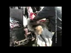 It's plain unnecessary to use real fur on any type of clothing or footwear! Before those animals are skinned alive, animals are pulled from their cages and thrown to the ground; workers bludgeon them with metal rods or slam them on hard surfaces, causing broken bones and convulsions but not always immediate death. Animals watch helplessly as workers make their way down the row. On these farms, foxes, minks, rabbits, raccoons and other animals pace and shiver in outdoor wire cages, exposed to…