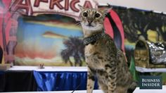 This video originally appeared on Business Insider. From the hairless sphynx to the 30-pound savannah, the world's most expensive felines star in this visit to a show for popular exotic cats.  Follow Business Insider Video on YouTube and watch more videos: 14 Things You Didn't Know Your iPhone Headphones...
