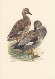 1956 Gadwall Duck Antique Print Vintage Lithograph by Craftissimo, €12.95