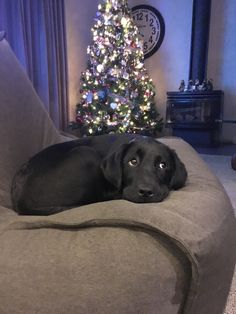 Black Labrador puppy Christmas