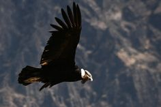 The Peruvian condors are enormous, beautiful birds with a wingspan up to 2m (7ft) wide.Cr Fresco Globe