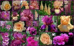Complimentary Tall Bearded Iris and companion plants Sun Garden, Iris Garden, Garden Plants, Flower Beds, My Flower, Japanese Iris, Flower Collage, Skate Party, Coming Up Roses