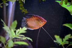 gourami - Gourami originate in Asia mostly. About a dozen kinds are kept in aquariums. Lovely fish.