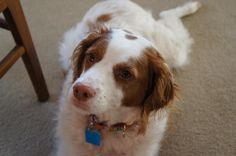Dot is a 6 year old Brittany who will be at the UGL this fall!