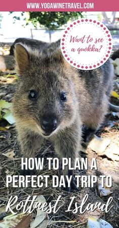 Yogawinetravel.com: How to Plan a Perfect Day Trip to Rottnest Island in Australia. Rottnest Island is a small island off the coast of Western Australia and is best known for its population of quokkas as well as pristine beaches and swimming spots. Read on for a practical travel guide to plan the perfect day trip to Rottnest Island: how to get to Rottnest Island, what to see and do, and how to see the adorable quokka!