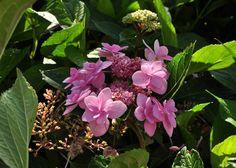 Beautiful Hydrangea macrophylla 'Jogosaki' -Copyright Dirk Staels  -  Dirk Staels - Google+