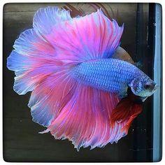 Betta Fish Types, Betta Fish Tank, Beta Fish, Fish Fish, Fish Tanks, Pretty Fish, Cool Fish, Beautiful Fish, Colorful Fish