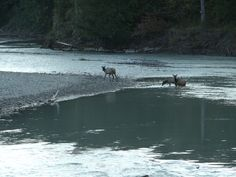 Elk in the Cowlitz River at Packwood WA