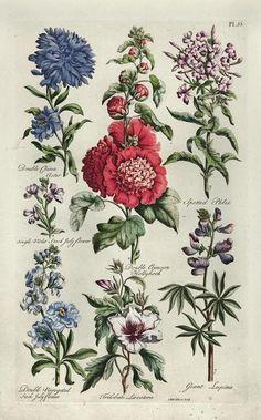 Vintage Botanical Prints, Botanical Drawings, Antique Prints, Botanical Illustration, Botanical Flowers, Botanical Art, John Hill, Plant Drawing, Ornamental Plants