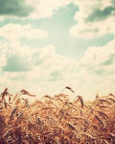 Midwest photography, country decor, fine art photograph, Illinois, rural farm, wheat field - Farm Fresh