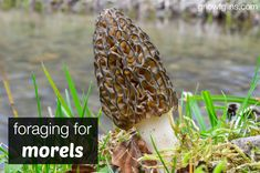 Foraging for Morels (and preserving methods)| Although we may still see a frost or two, spring has finally sprung here in northern Idaho. Our most favorite thing to do this time of year is forage for morel mushrooms! I'm thrilled to share our morel excitement with you (and I hope it's contagious) plus give you ideas for eating and preserving morels. | GNOWFGLINS.com