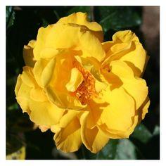 Rosier grimpant 'GOLDMARIE®' Korkuma. A partir de 14,10 €. Très beau rosier grimpant aux fleurs jaune d'or finissant orangées. Hauteur 300 cm