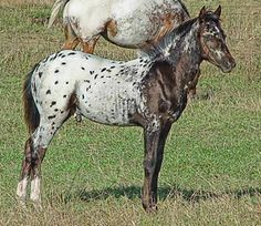 Pony of the Americas | CABALLOS - PONY OF THE AMERICAS EN CHILE