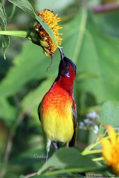 Mrs Gould's Sunbird  | Flickr - Photo Sharing!