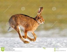Running Hare Stock Photos – 317 Running Hare Stock Images, Stock ...