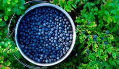 Blueberry Growing Guide, beautiful in the landscape and delicious straight off the bush, this no-fuss fruit is a natural for the organic garden. Growing Blueberries, Organic Blueberries, Fruit Garden, Edible Garden, Veg Garden, Organic Vegetables, Growing Vegetables, Ficus, Organic Gardening Tips