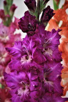"""Képtalálat a következőre: """"Gladiolus 'Zornice'"""" Gladiolus Bulbs, Gladiolus Flower, Birth Flowers, Purple Flowers, Beautiful Flowers, August Birth Flower, Hollyhocks Flowers, All About Plants, Pond Landscaping"""