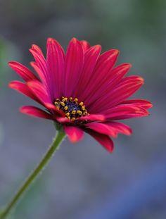fleur - Daisy Flower | by unal dms on 500px