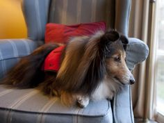 The Dalhousie Student Union is advertising a Puppy Room at Dalhousie University in Halifax. Colleen Adams and her dog Riley, an eleven-year-old Shetland Sheep dog will be visiting the Dog Room which is billed as a way for students to relieve stress during exams
