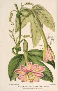 v.16 (1869) - L'Illustration horticole : - Biodiversity Heritage Library