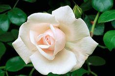 Climbing Rose 'New Dawn'