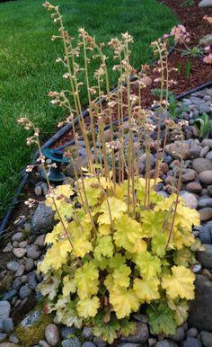 Coral Bells 'Harvest Lemon Chiffon' (Heuchera x hybrida)