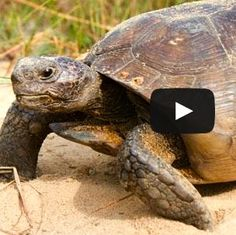 Saving the Gopher Tortoise