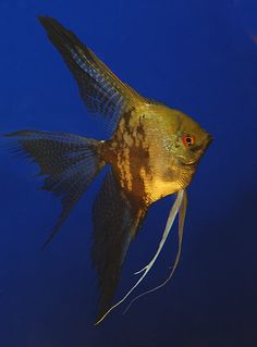 Leopard Veiltail Angelfish