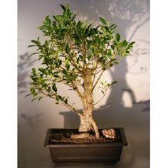Bonsai Boy's Ficus Retusa Bonsai Tree with Banyan Roots ficus retusa$250.00: www.amazon.com/Bonsai-Ficus-Retusa-Banyan-retusa/dp/B007JVCHCW/?tag=sure9600pneun-20