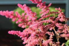 Pink astilbe from my garden