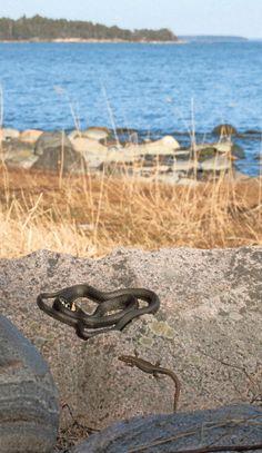 Sisilisko ja rantakäärme nauttivat toukokuun lämmöstä. Rantakäärmeet eivät syö sisiliskoja.