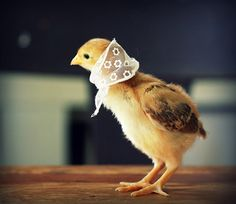 Beautiful set of little chicken photographs on Flickr taken by Julie Persons from Maine.