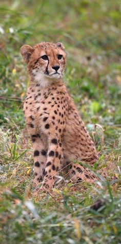 animals Cheetah big Cat Wildlife animals Wilderness Photography Cheetahs